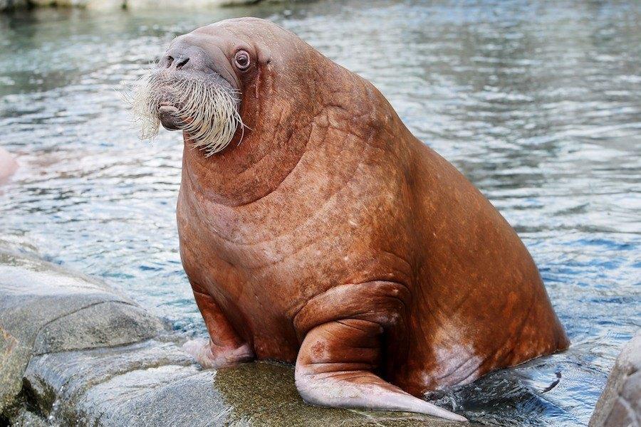 arctic-animals-walrus