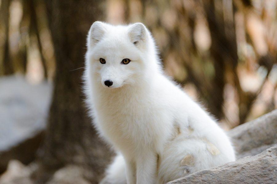 arctic-fox-sitting