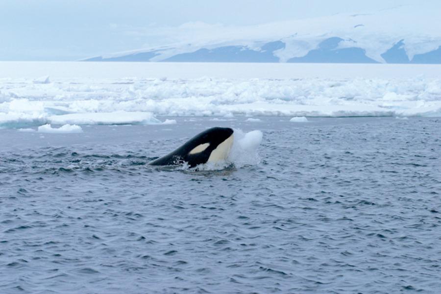 arctic-orca