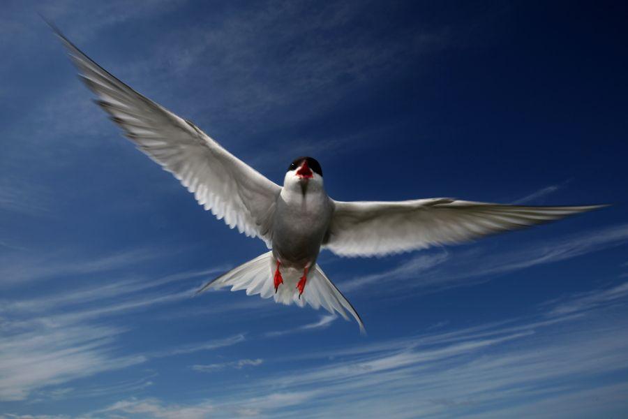 arctic-tern-soaring
