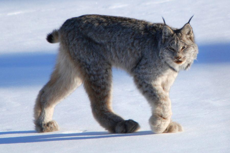 canada-lynx-walking