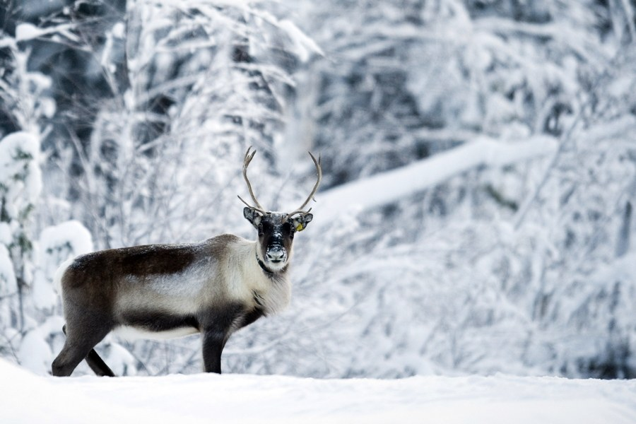 caribou-in-snow