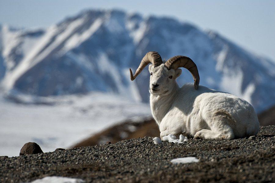 dall-sheep