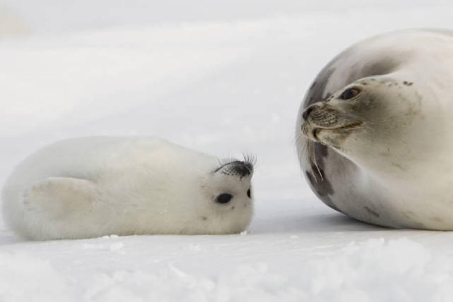 harp-seal-1