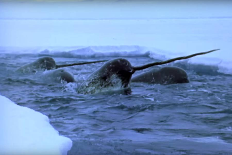 narwhals-ice
