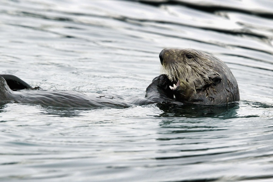 sea-otter-in-water