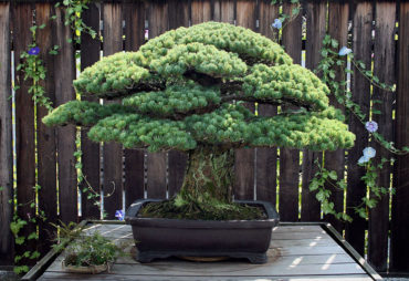 391-летний бонсай