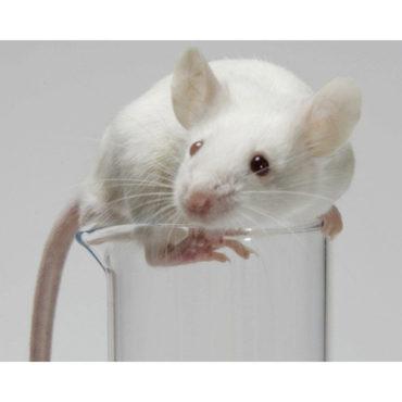 Крысиная участь