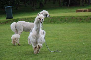 Первый Alpaca Wellbeing Fest – праздник Счастливого Образа Жизни