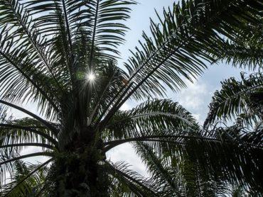 Отсутствие вреда и наличие пользы в потреблении пальмового масла